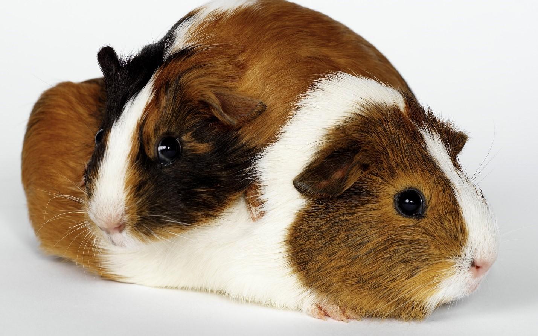 Выбор морской свинки в качестве домашнего питомца