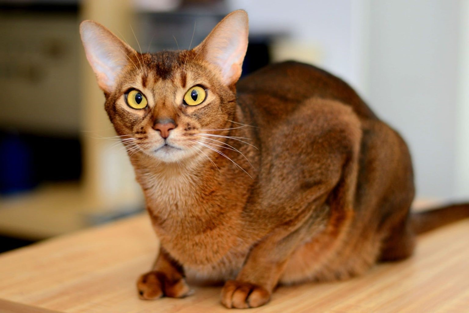 Что расскажет о характере человека порода его кошки