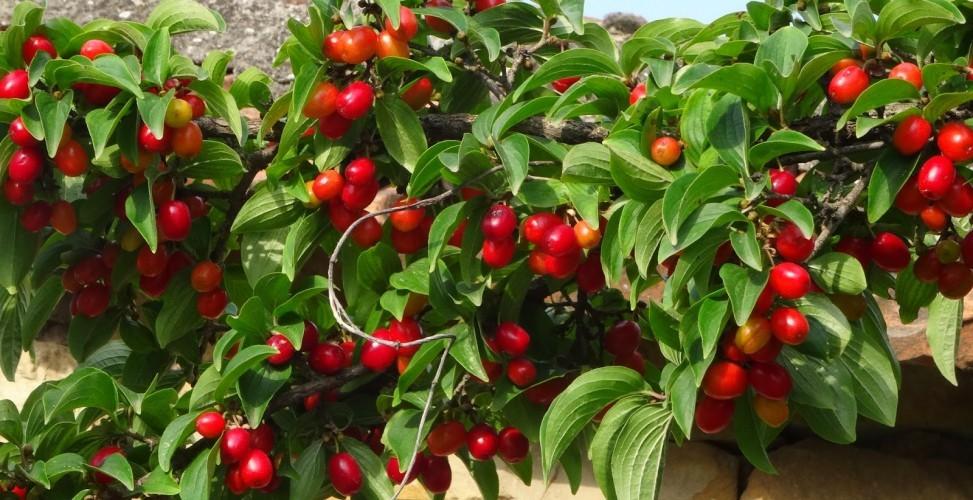 Кизил от простуды и другие чудодейственные свойства растения