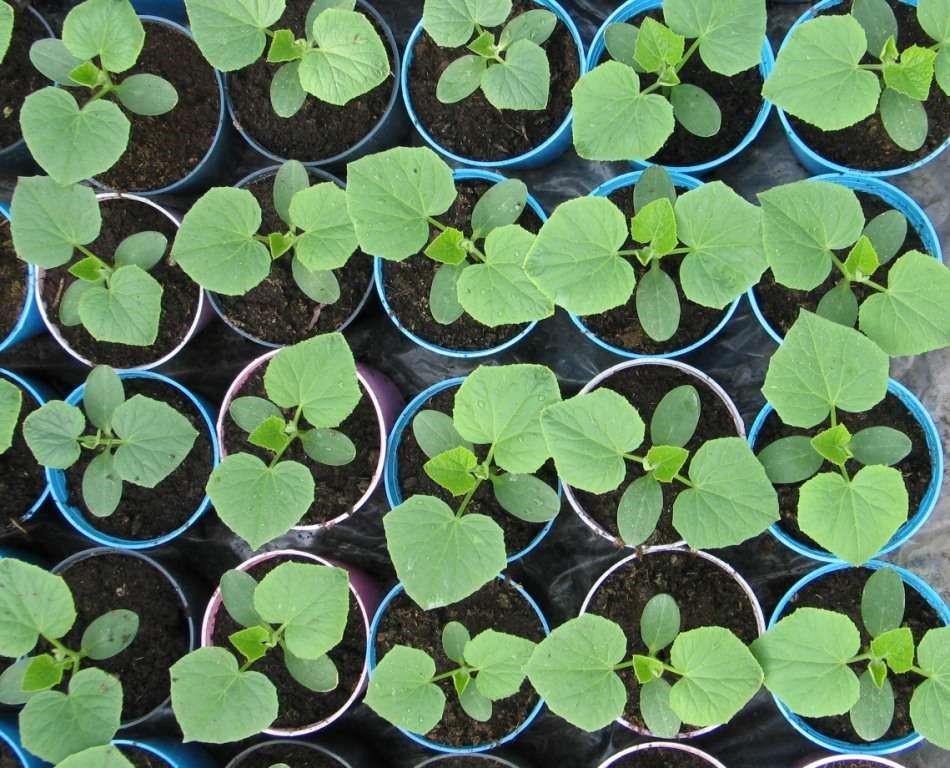 Как вырастить рассаду огурцов за 3 дня