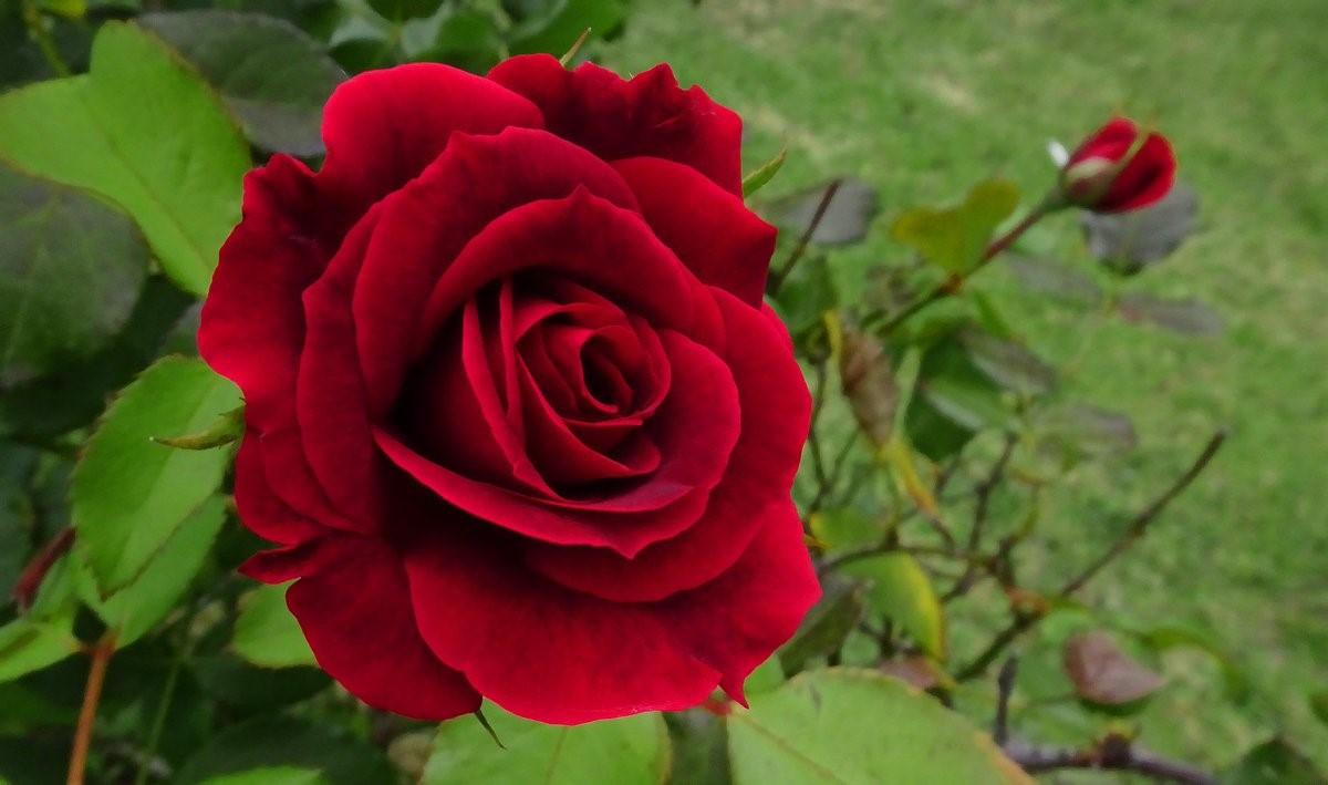 18 видов красивых роз для дачного участка