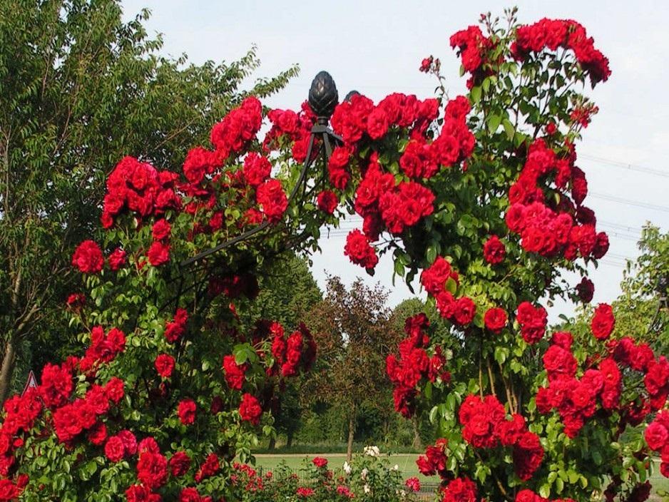 Топ 10 красивых кустовых роз для сада