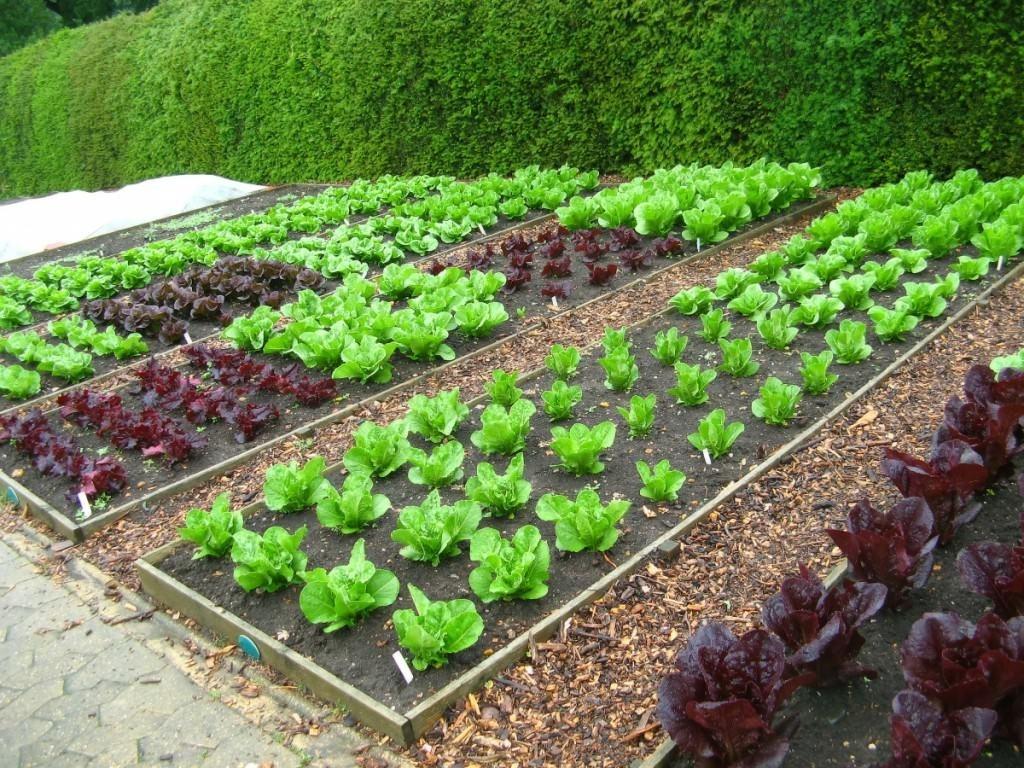 Тепличные и грунтовые овощи: в чем разница