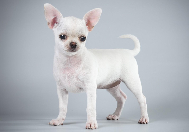 Породы собак, подходящие для содержания в маленьких городских квартирах