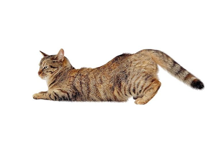 Кошка хочет кота: что делать, как успокоить питомицу
