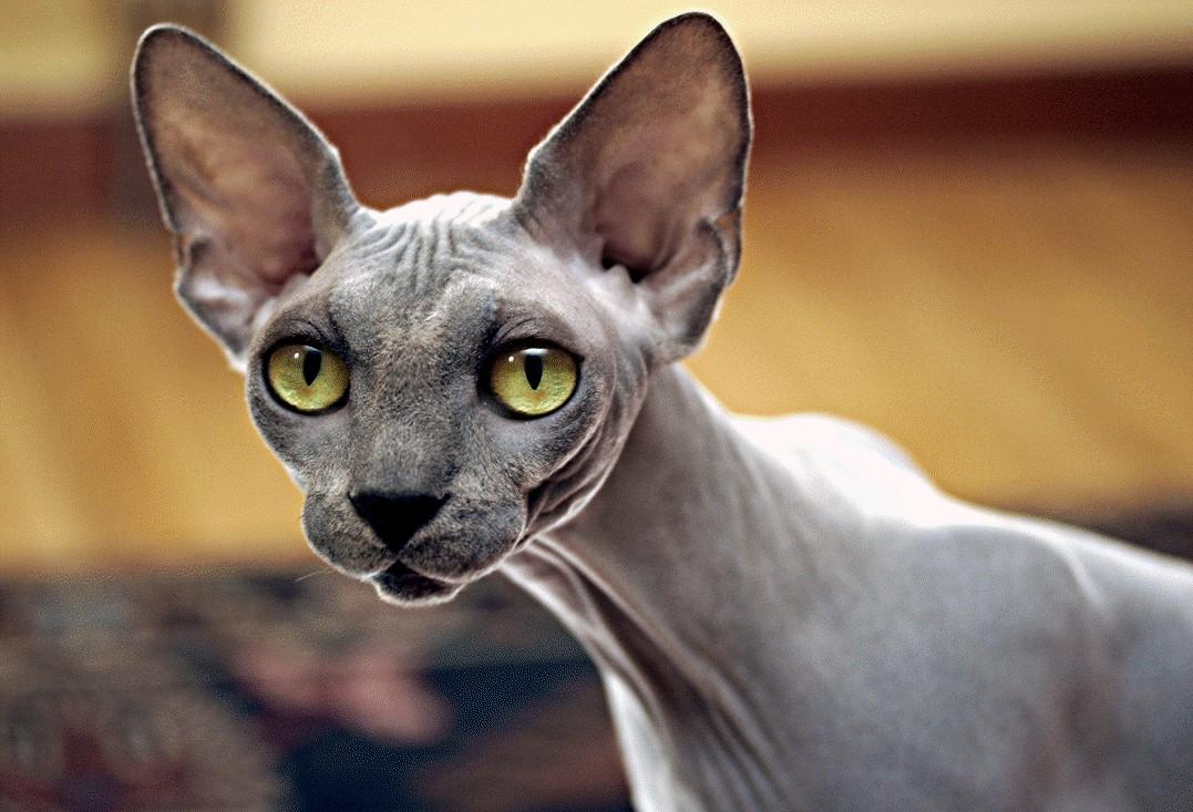 Какая продолжительность жизни у разных пород кошек