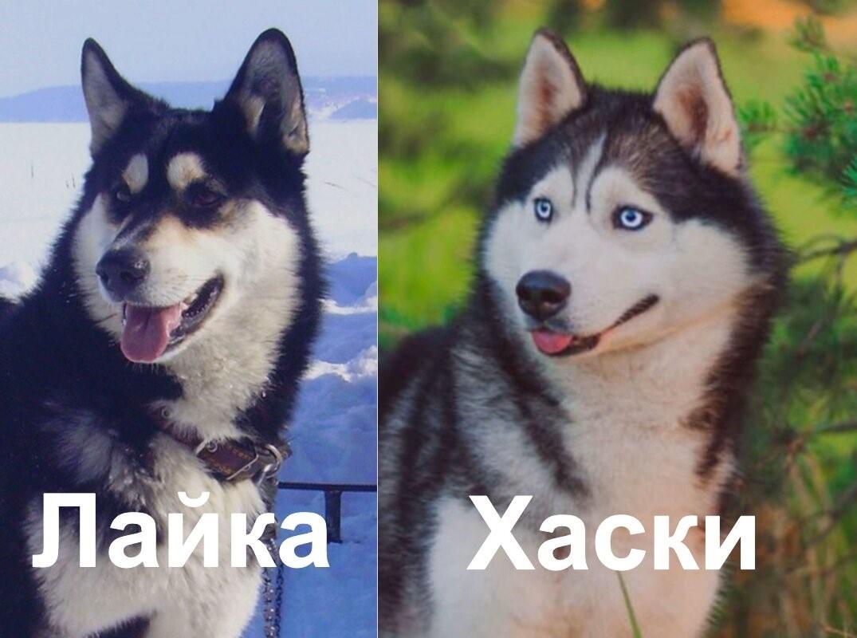 По каким признакам можно отличить собаку породы лайка от хаски
