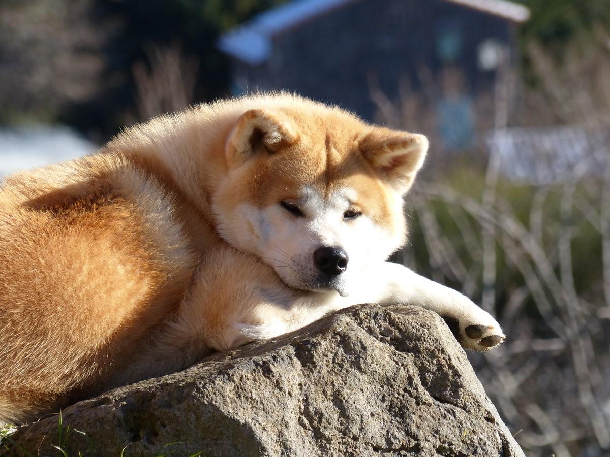 10 пород собак, за которые не жалко отдать 10 тысяч долларов